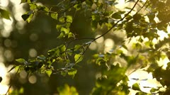 Beautiful green leaves in the forest, close-up with bokeh at sunset Stock Footage