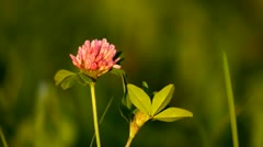 Red clover close-up - stock footage