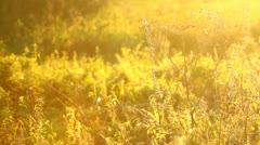 Atmospheric natural meadow at sunset, backlit - stock footage