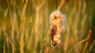 Bulrush close-up Stock Footage