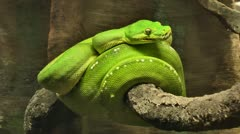 Green Tree Snake Stock Footage