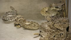 Stock Footage - HD 1080p -  Seveal active Rattle Snakes in pit - Audio Stock Footage