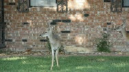 Stock Footage - HD1080p - White tail Deer grazing in yard, vehicles pass Stock Footage