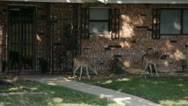 Stock Footage - HD1080p - White tail Deer on porch - Bucks Stock Footage