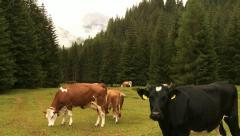 Black cow - stock footage