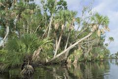 south fork saint lucie river palm trees along river bank  stuart, martin coun - stock photo
