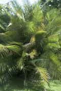 Senegal date palm (Phoenix reclinata) puita Kuvituskuvat