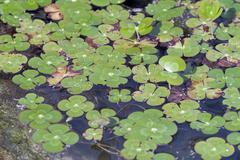 water clover (marsilea mutica) an aquatic fern plant - stock photo
