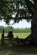 Dudley farm historic state park  florida florida cracker cow farming ranching Stock Photos