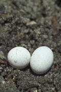 Stock Photo of brown anole lizard eggs