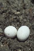 Brown anole lizard eggs Stock Photos