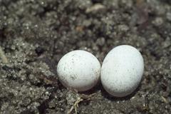 brown anole lizard eggs - stock photo