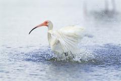 White ibis (eudocimus albus) wading bird birds wetlands bathing cleaning groo Stock Photos