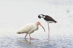 White ibis (eudocimus albus) and black necked stilt (himantopus mexicanus) wa Stock Photos