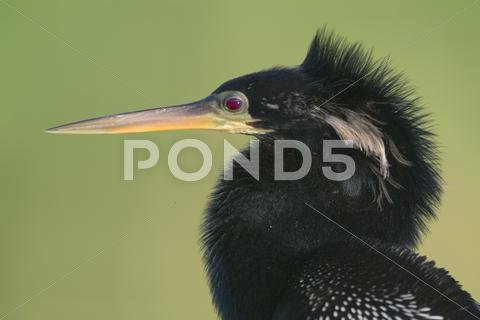 Stock photo of anhinga (anhinga anhinga) male bird
