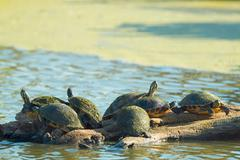turtles on log common cooter pseudemys (chrysemys) floridana reptiles wetland - stock photo