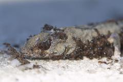 fire ants consuming a dead lizard - stock photo