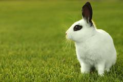 White bunny rabbit outdoors in grass Stock Photos