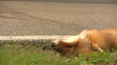 Roadkill Fox Stock Footage
