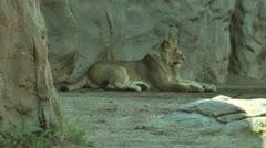 Lion Cub Stock Footage