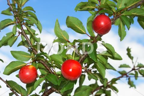 Stock photo of red plum fruits