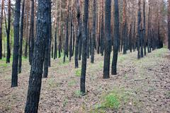 burned pine forest - stock photo