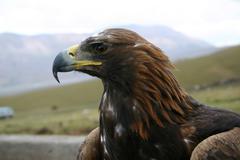 the large predatory bird. - stock photo