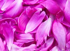 peony petals pile - stock photo