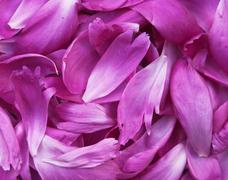 Stock Photo of peony petals pile