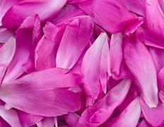 Peony petals pile Stock Photos