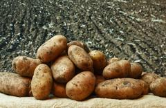 Stock Photo of potatoes on the background of agricultural lands
