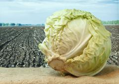 Stock Photo of cabbage on the background of agricultural lands