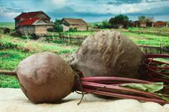 Stock Photo of beet on the background of rural areas