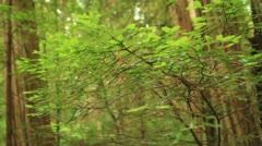 Redwood Forest 15 Stout Grove Stock Footage