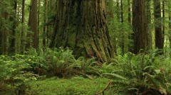 Redwood Forest 05 Stout Grove Stock Footage