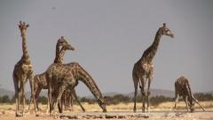 Group of drinking giraffes - stock footage