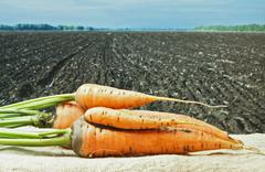 carrots on the background of agricultural lands - stock photo