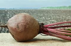 beet on the background of agricultural lands - stock photo