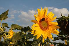 Stock Photo of Sunflower mon amour