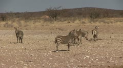Cape zebras Stock Footage