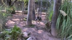 Emus Stock Footage
