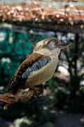 a blue-winged kookaburra on a branch - stock photo