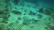 Scuba diver and leopard shark Stock Footage