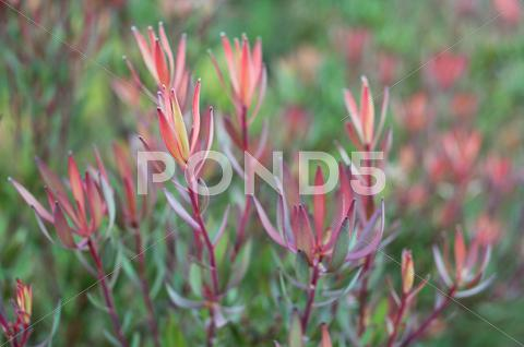 Stock photo of leucadendron salignum at kirstenbosch botanical garden