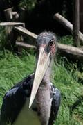 head of a marabou stork - stock photo