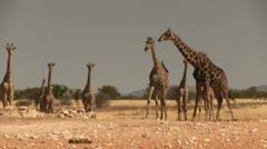 Herd of giraffes Stock Footage