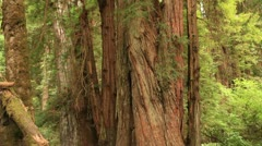Redwood Forest 23 Stout Grove TU Stock Footage