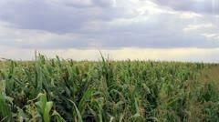 Sun Rays on a Corn Field - stock footage