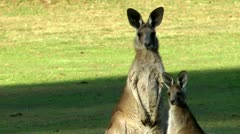 Stock Video Footage of Australia - Kangaroos