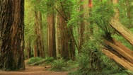 Redwood Forest 08 Stout Grove Stock Footage